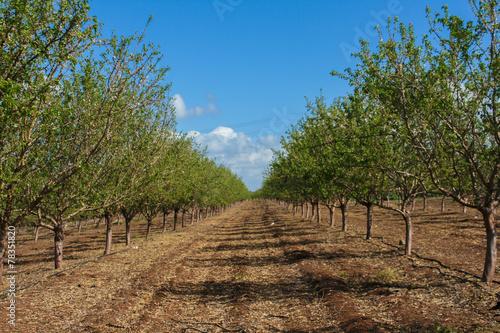 Almond trees and blue sky Fototapeta