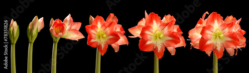 Photo Amaryllis Flower Series