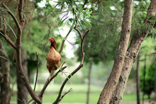 Wildlife On The Branches Of A Coniferous Tree Sitting Hens