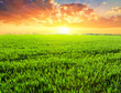 green fields at the sunset