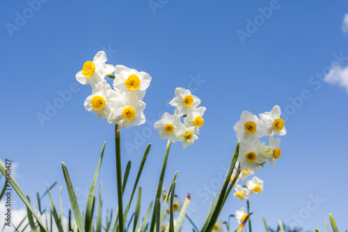 Deurstickers Narcis 水仙の花と青空