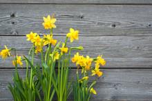 Spring Daffodils Against Old W...