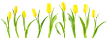 Banner Of Yellow Tulips On White