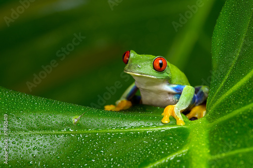 Spoed Foto op Canvas Kikker Red-Eyed Amazon Tree Frog