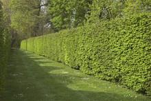 Carpinus Betulus, Charme, Taillé En Haies