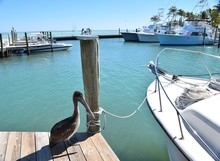 Pelican And Boats