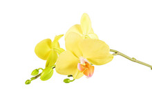 Yellow Orchid Flower Isolated