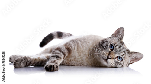Photo  The striped blue-eyed cat lies on a white background.