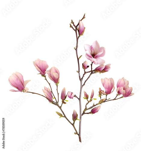 Pink Magnolia Flower Isolated On White Background Buy This Stock