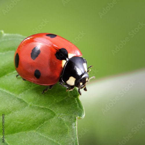 Photo  ladybug on leaf