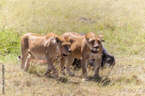 Photo  Lions Feeding