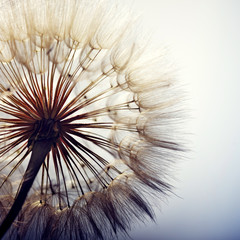 Fototapeta Minimalistyczny big dandelion on a blue background