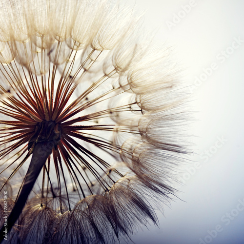 Fotografering  big dandelion on a blue background