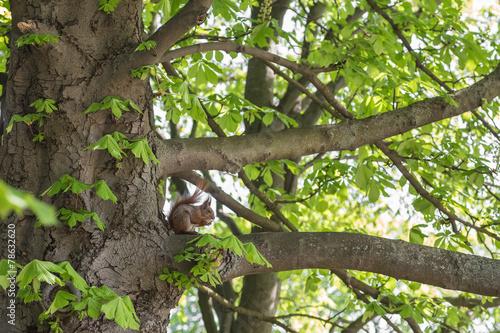 Nowoczesny obraz na płótnie Wiewiórka jedząca orzecha na drzewie