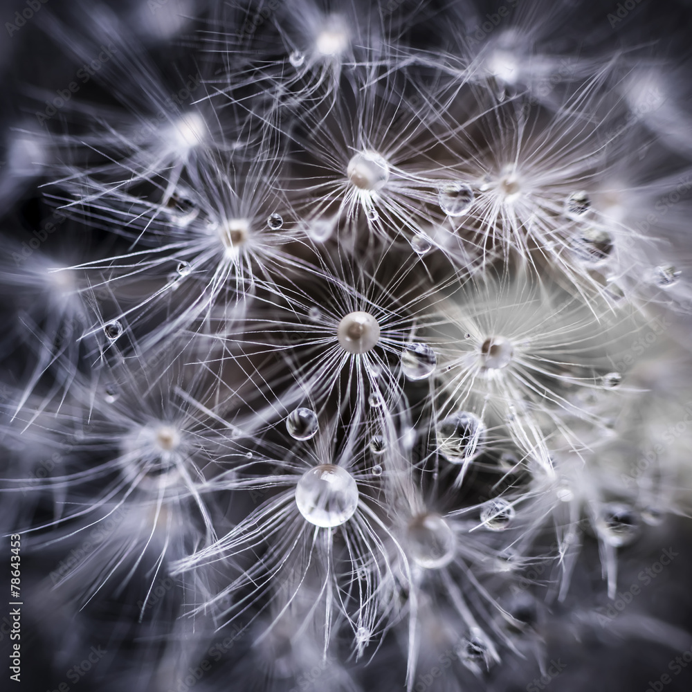 Dandelion seeds with water drops