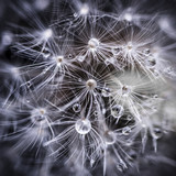 Fototapeta Puff-ball - Dandelion seeds with water drops