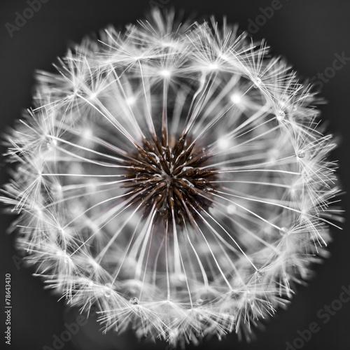 Fototapety, obrazy: Dandelion head with seeds