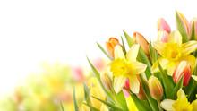 Freisteller Tulpen Und Narziss...