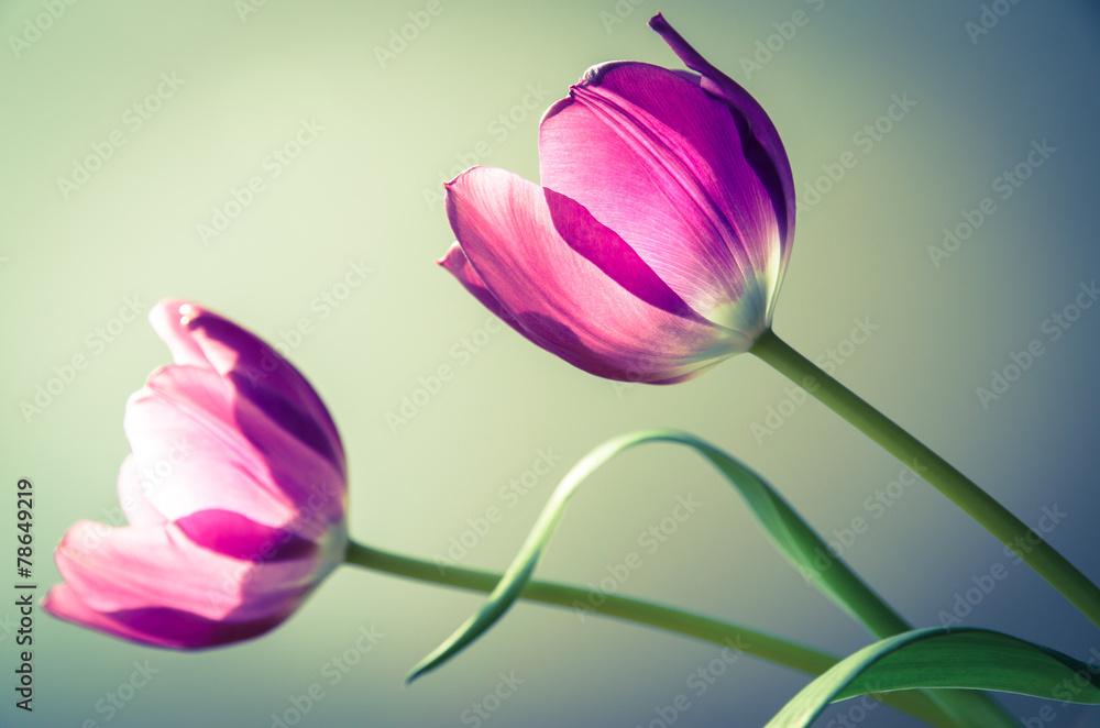 Fototapety, obrazy: Tulipany rozkwitnięte