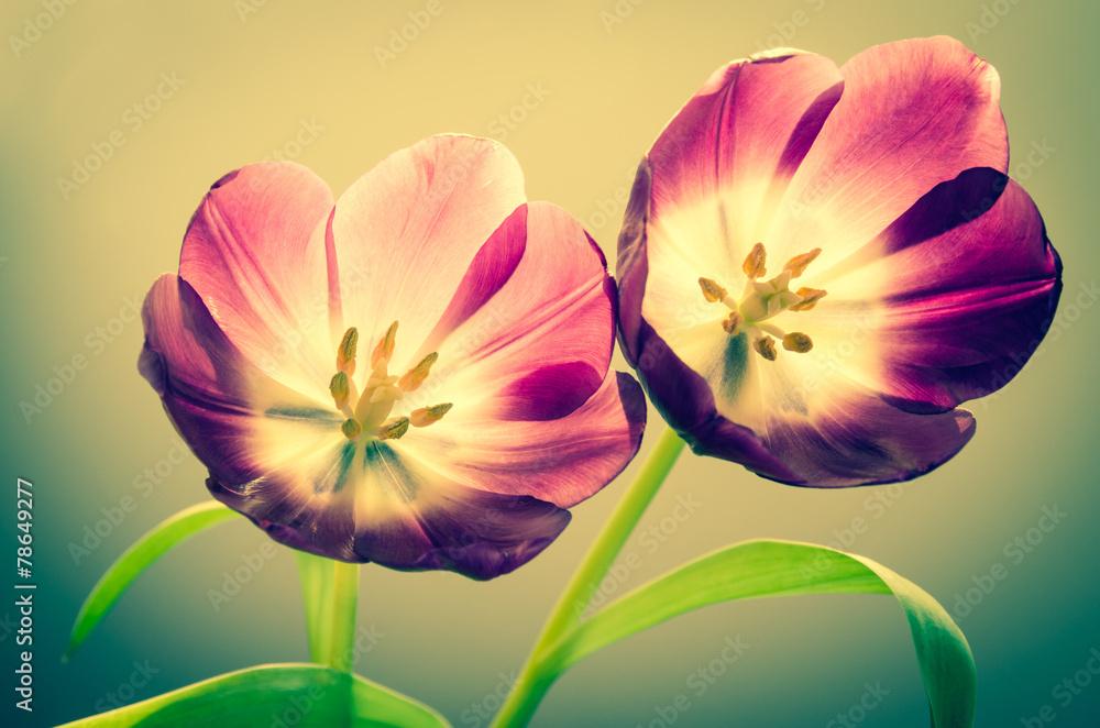Fototapety, obrazy: Rozkwitnięte tulipany