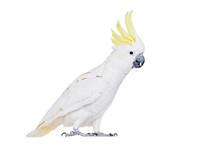 Sulphur-crested Cockatoo, Isol...