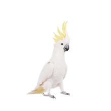 Sulphur-crested Cockatoo, Isol...