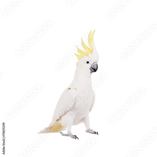 Foto op Canvas Papegaai Sulphur-crested Cockatoo, isolated on white