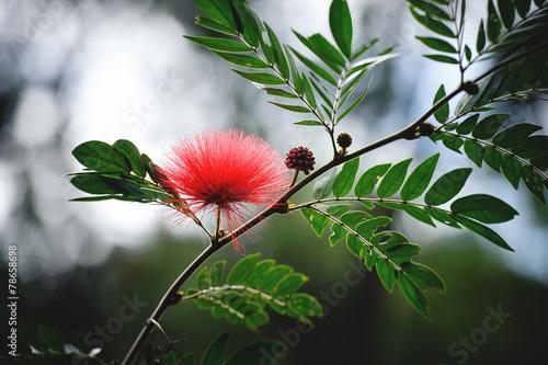Persian Silk Tree Flower Kaufen Sie Dieses Foto Und Finden Sie