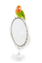 Oiseau Inséparable Roséicoli...