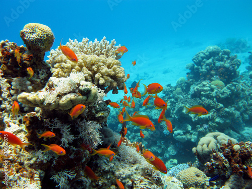 Tuinposter Koraalriffen coral reef with exotic fishes anthias in tropical sea