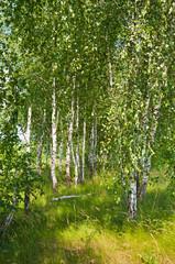 Panel Szklany Optyczne powiększenie Birch grove in summer
