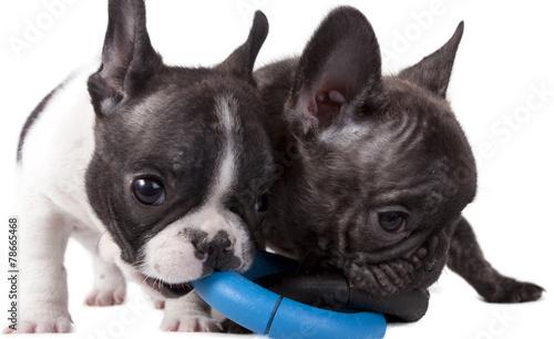 Spoed Fotobehang Franse bulldog puppies French bulldog