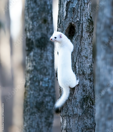 Valokuvatapetti Ermine in a winter coat