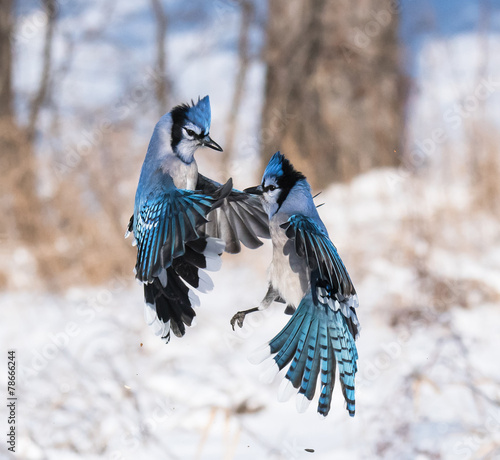 Fotografiet Blue Jay in Flight in Winter