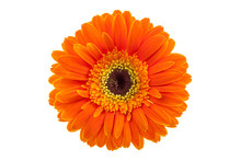Orange Gerbera Daisy Isolated ...