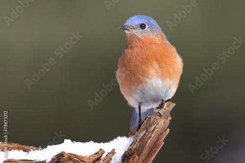 Sticker - Male Eastern Bluebird in Snow