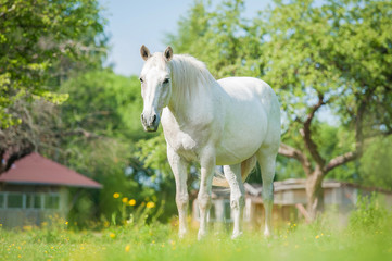 White horse standing in the paddock in summer
