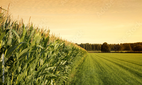Canvas Print cornfield at sunset