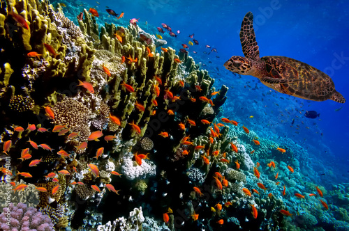 Poster Sous-marin Green Sea Turtle swimming along tropical coral reef