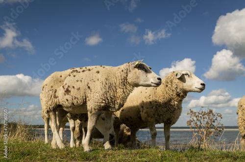 Photo  sheep on a levee / dyke near Amsterdam - Netherlands