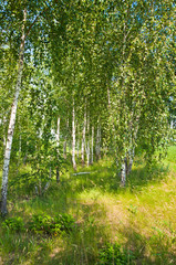 Panel Szklany Drzewa Beautiful birch grove