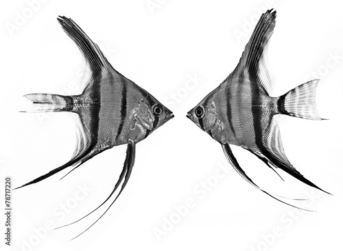Photo Angelfish (Pterophyllum scalare) isolated on white background