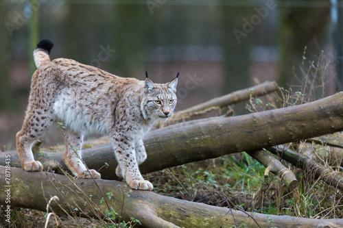 Foto op Canvas Lynx Northern Lynx