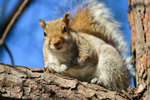 Eastern Gray Squirrel (Sciruus...