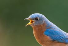 Close Up Of A Male Eastern Bluebird With Open Mouth