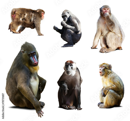 Foto op Plexiglas Aap Mandrill and other Old World monkeys