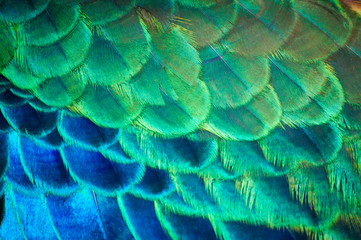 Obraz na SzkleCloseup peacock feathers