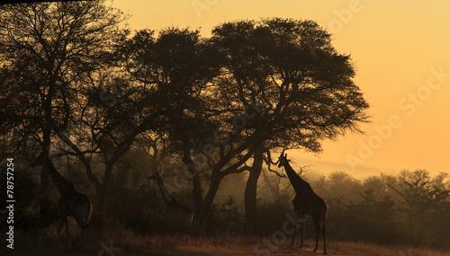Poster Afrique du Sud Giraffe in early morning light