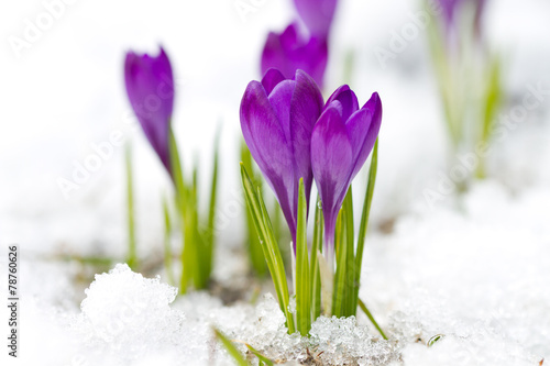 Cadres-photo bureau Crocus Violet crocuses