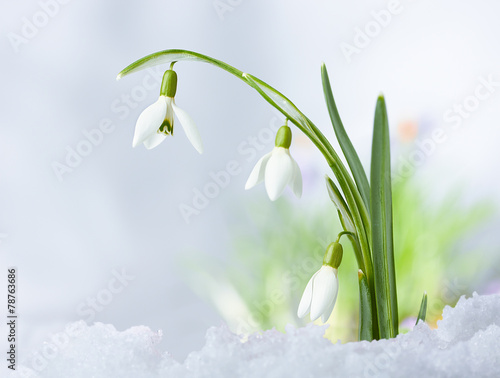 Fototapety, obrazy: Beautifull Spring snowdrop flowers